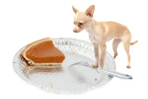 Chihuahua wants pumpkin pie