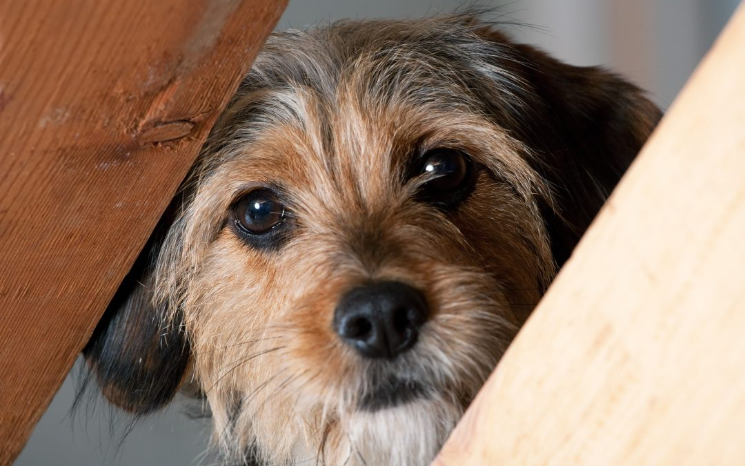 Help for Stressed and Fearful Dogs